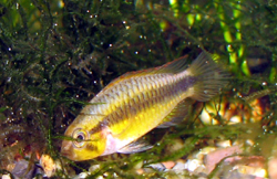 The broad black stripe contrasts against thebright yellow body color ...