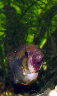 Apistogramma sp. Abacaxis