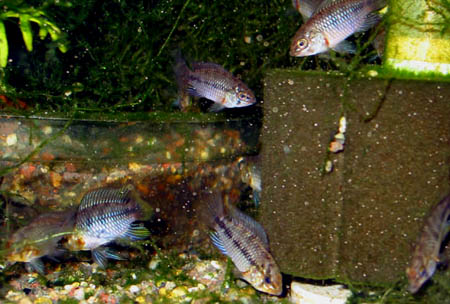 Group of young apistogramma borellii