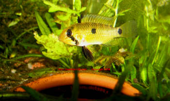 Apistogramma steindachneri female with eggs