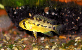 Apistogramma xingu female in brood dress