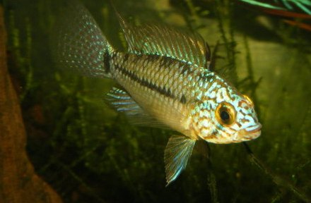 ... livestock sale: Ruby Tetras, Steel Blue Apistos, Golden Gourami