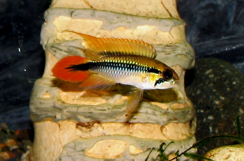 "Male Apistogramma agassizii ""red tail"""