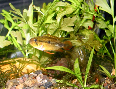 "Apistogramma agassizii ""Red Tail"" female"