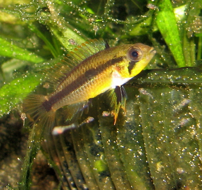 female Apistogramma agassizii with fry