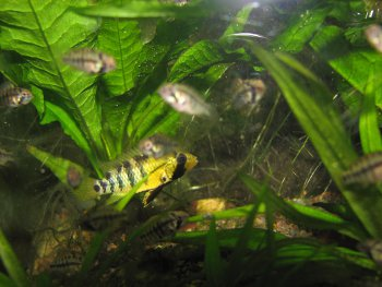 Apistogramma baenschi female with fry