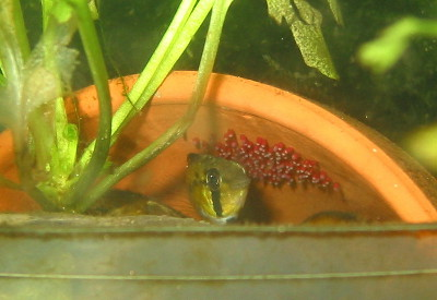 Apistogramma macmasteri female guarding eggs
