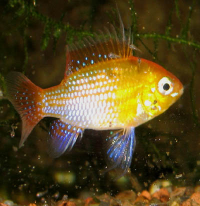 Gold Ram male with fry