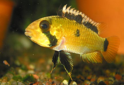 Apistogramma atahualpa female with very young fry