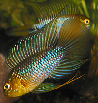 ApistogrammaBorellii male in aggressive display. Note the long flowing ...