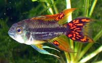 male Apistogramma cacatoides
