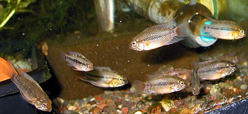 Apistogramma hongsloi group