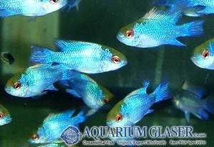 Neon Blue Ram cichlid Electric blue