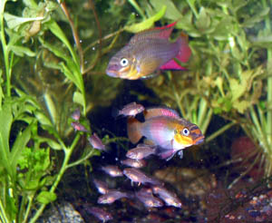 Pelvicachromis taeniatus pair with fry