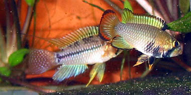 Apistogrammoides pucallpaensis male behind Apistogramma panduro female