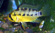Apistogramma sp. Rio Xingu female with fry