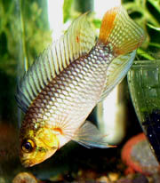 "Apistogramma sp. Xingu ""Red Lobes"" male"
