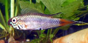 Apistogramma uaupesi male in display