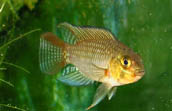 Male Apistogramma sp. Red Lobes Rio Xingu